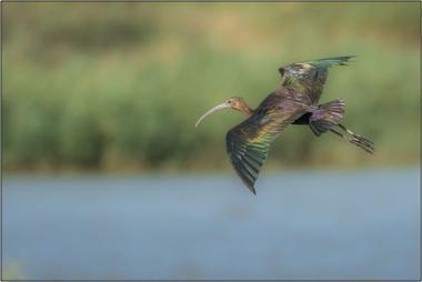 Ibis hnědý B - 40x60 - plátno