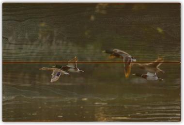 Kachna divoká B - 20x30 - dřevo