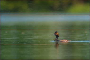 Potápka černokrká E - 40x60 - dřevo
