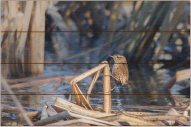 Střízlík obecný A - 40x60 - dřevo