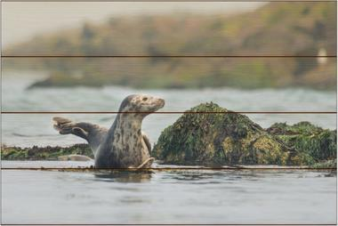 Tuleň kuželozubý I - 40x60 - dřevo