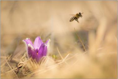 Včela medonosná B - 60x90 - plakát