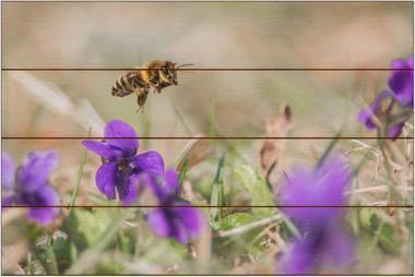 Včela medonosná C - 40x60 - dřevo