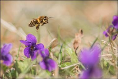 Včela medonosná C - 20x30 - plátno