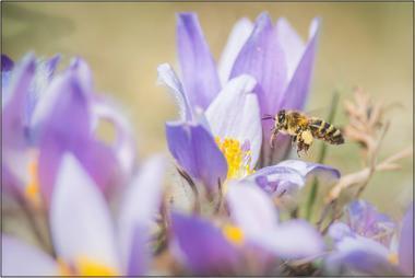 Včela medonosná D - 20x30 - plátno