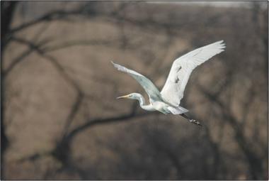 Volavka bílá E - 20x30 - plátno