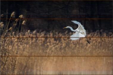 Volavka bílá F - 40x60 - dřevo