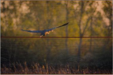 Volavka červená A - 20x30 - dřevo