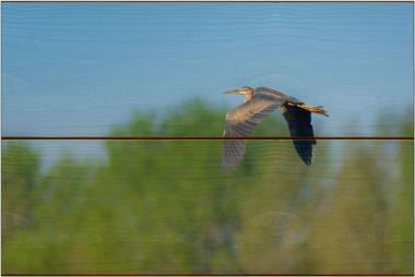 Volavka červená B - 20x30 - dřevo