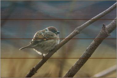 Vrabec domácí B - 40x60 - dřevo