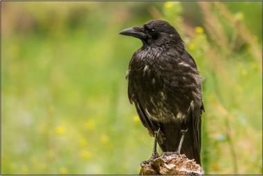 Vrána černá A - 20x30 - plátno