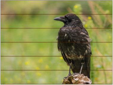 Vrána černá A - 60x80 - dřevo