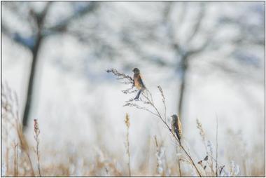 Zimní ptáci A - 20x30 - plátno