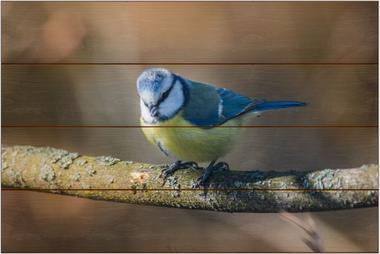 Sýkora modřinka A - 40x60 - dřevo