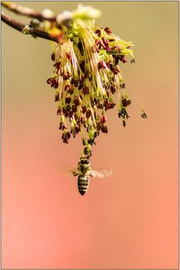 Včela medonosná A - 20x30 - plakát