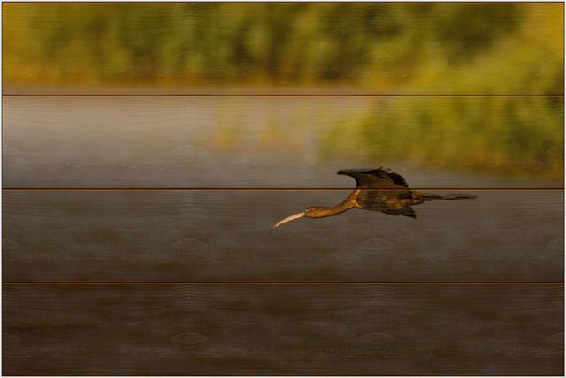 Ibis hnědý C - 40x60 - dřevo