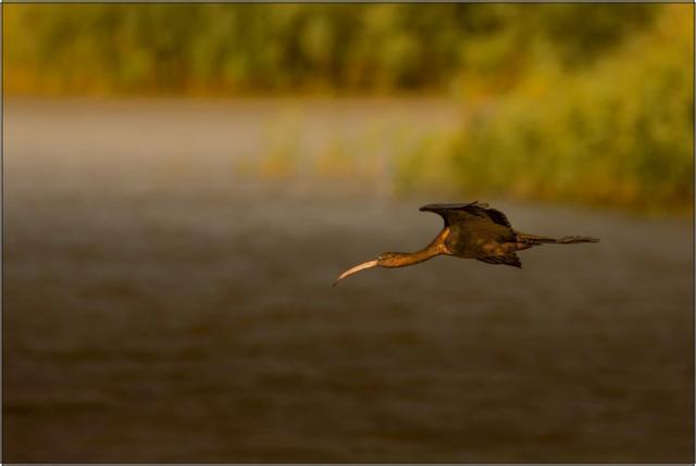 Ibis hnědý C - 20x30 - plátno