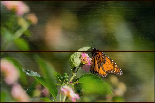 Monarcha stěhovavý A - 20x30 - dřevo