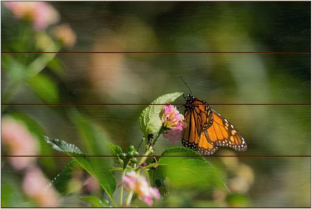 Monarcha stěhovavý A - 40x60 - dřevo