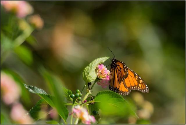 Monarcha stěhovavý A - 20x30 - plátno