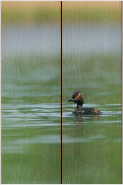 Potápka černokrká A - 20x30 - dřevo