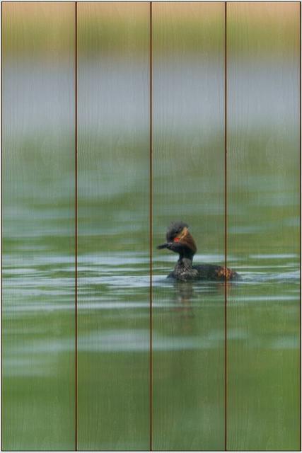 Potápka černokrká A - 40x60 - dřevo