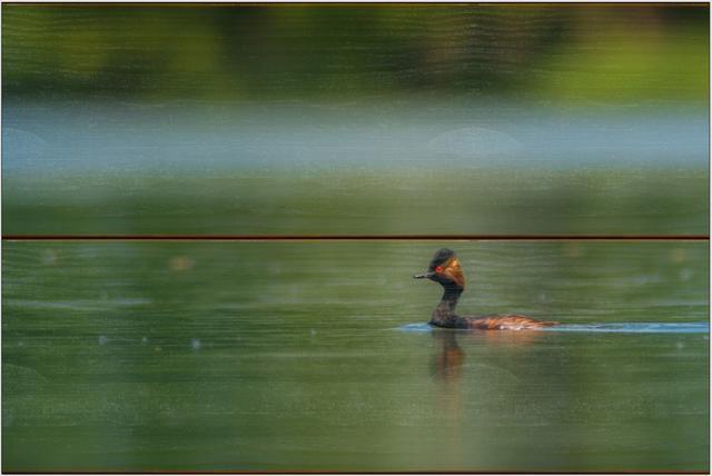 Potápka černokrká E - 20x30 - dřevo