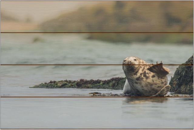 Tuleň kuželozubý D - 40x60 - dřevo