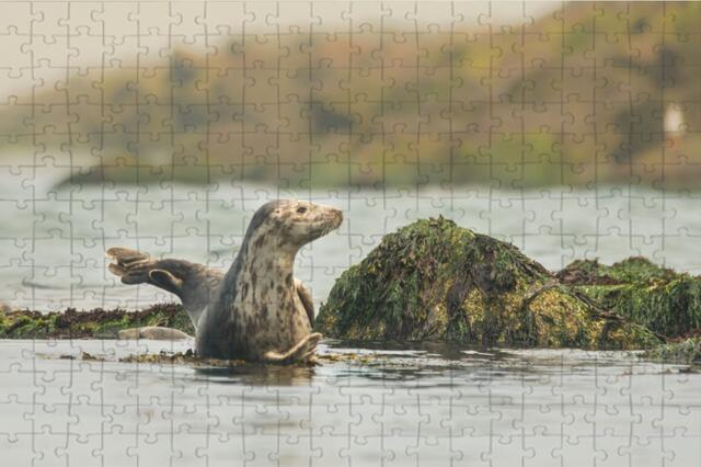 Puzzle A3 tuleň kuželozubý I