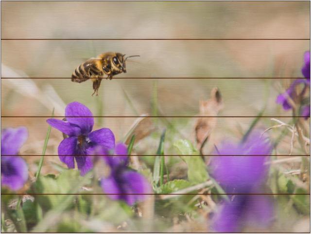 Včela medonosná C - 60x80 - dřevo