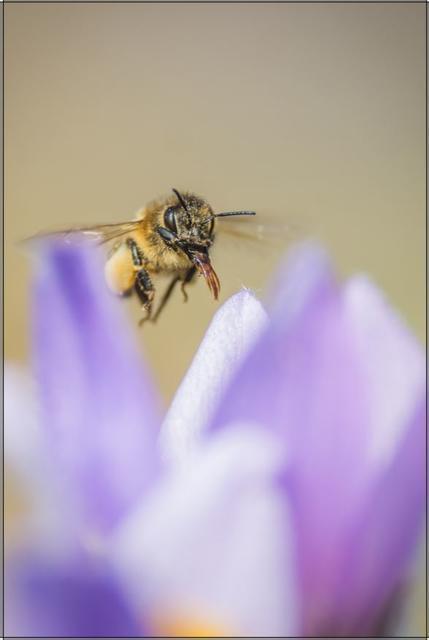 Včela medonosná E - 20x30 - plátno