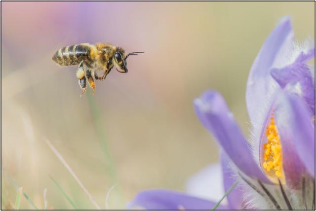Včela medonosná F - 20x30 - plátno
