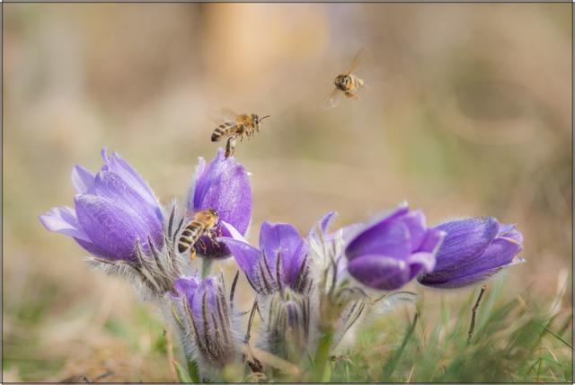 Včela medonosná G - 20x30 - plátno