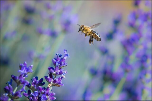Včela medonosná H - 40x60 - plátno