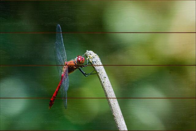 Vážka rudá A - 40x60 - dřevo