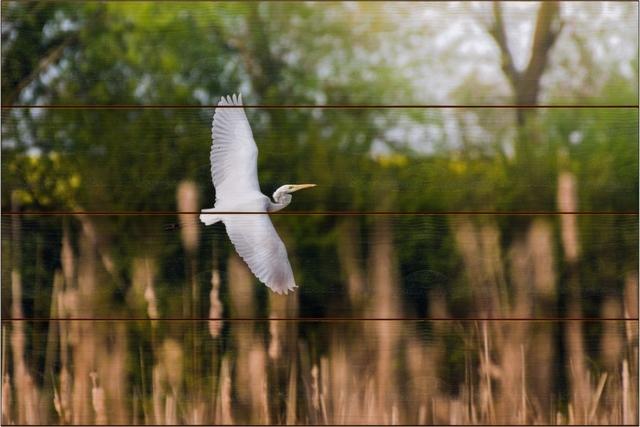 Volavka bílá G - 40x60 - dřevo
