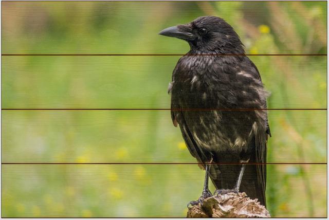 Vrána černá A - 40x60 - dřevo