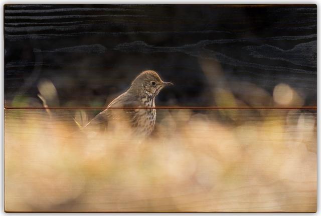 Drozd zpěvný B - 20x30 - dřevo