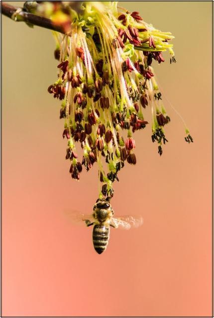 Včela medonosná A - 20x30 - plátno