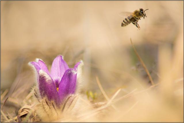 Včela medonosná B - 20x30 - plátno