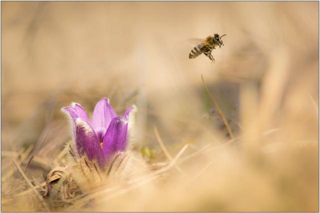 Včela medonosná B - 20x30 - plakát