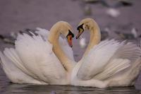 Únorové focení ptáků u Balatonu