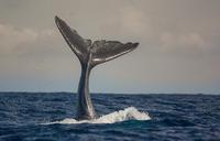 Proč navštívit Azorské ostrovy - část 3: Pozorování velryb