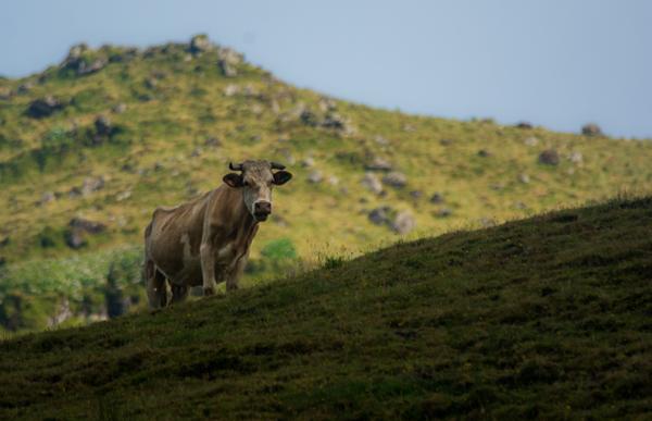 Kráva, kaldera ostrova Corvo
