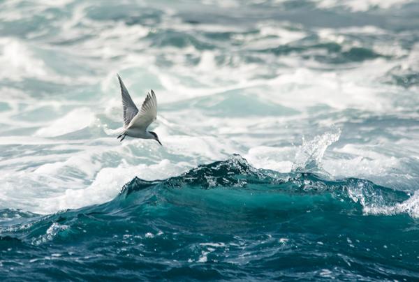 Rybák obecný, ostrov Corvo