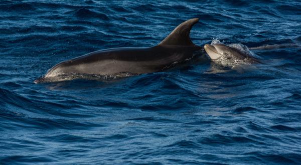 Delfín skákavý s mládětem